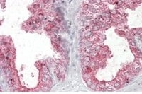 Immunocytochemistry - Anti-Kallikrein 2 antibody (ab77253)