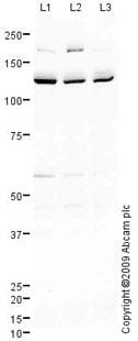 Western blot - E Cadherin antibody (ab77287)