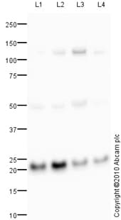 Western blot - COPS8 antibody (ab77300)