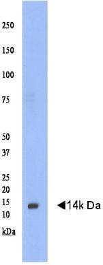 Western blot - GABARAPL1 antibody (ab77952)