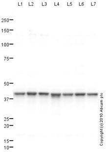 Western blot - HNRPA3 antibody (ab78300)