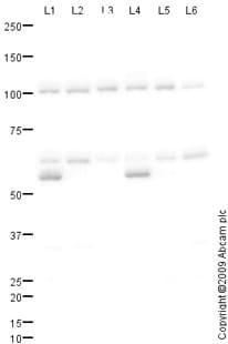 Western blot - TRIM27 antibody (ab78393)