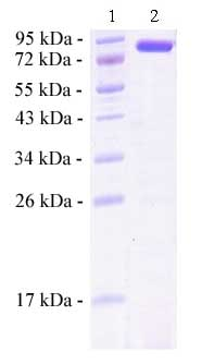 SDS-PAGE - Hsc70 protein (Active) (ab78431)