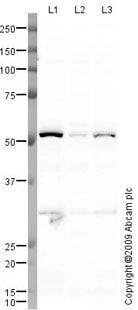 Western blot - Testin  antibody (ab78499)