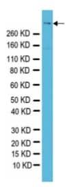 Western blot - Reelin antibody [G10] (ab78540)