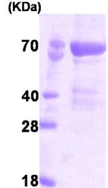SDS-PAGE - PAK4 protein (His tag) (ab78685)