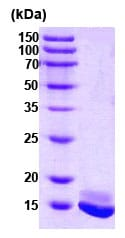 SDS-PAGE - CALM2 protein (Human) (ab78694)