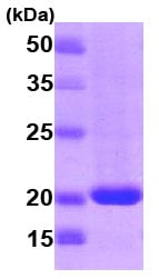 SDS-PAGE - RHEB protein (T7 Tag) (ab78768)