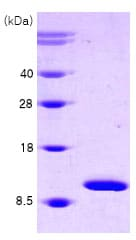SDS-PAGE - Cpn10 protein (Human) (ab78789)