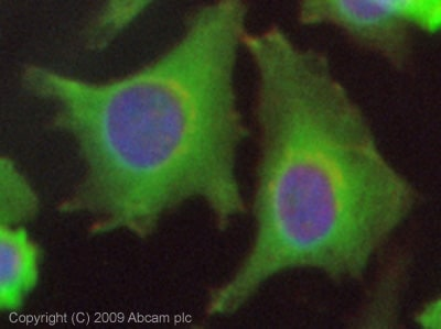 Immunocytochemistry/ Immunofluorescence - Hsp27 antibody (ab78806)