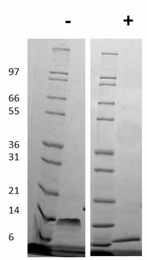 Other - Active cat SDF1 beta full length protein (ab78808)