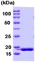 SDS-PAGE - PPIH protein (Human) (ab78874)