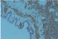 Immunohistochemistry (Frozen sections) - Integrin alpha 1 + beta 1 antibody [RA1.1] (ab79007)
