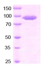SDS-PAGE - CD26 protein (Active) (ab79138)