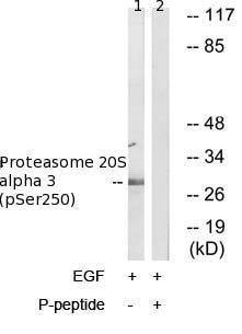 Western blot - Proteasome 20S alpha 3 (phospho S250) antibody (ab79184)