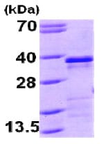 SDS-PAGE - EBAG9 protein (His tag) (ab79243)
