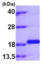SDS-PAGE - PPIL1 protein (His tag) (ab79247)