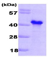 SDS-PAGE - GLC8 protein (His tag) (ab79249)