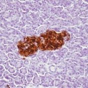 Immunohistochemistry (Formalin/PFA-fixed paraffin-embedded sections) - Anti-Insulin antibody [INS04] (Biotin) (ab79477)