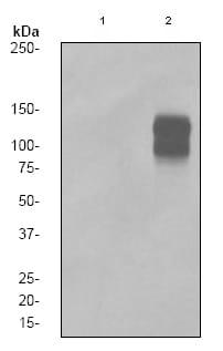 Western blot - delta 1 Catenin (phospho S268) antibody [EPR2380] (ab79545)
