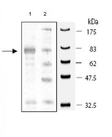 SDS-PAGE - Src protein (Active) (ab79634)