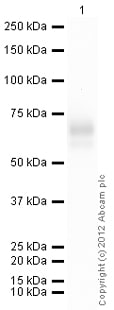 Western blot - Anti-LMW Kininogen antibody (ab79650)