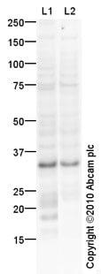 Western blot - Anti-HOXC8 antibody (ab79690)