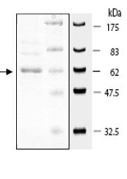 SDS-PAGE - A RAF protein (Active) (ab79795)