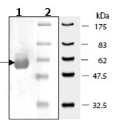 SDS-PAGE - AKT2 protein (Active) (ab79798)