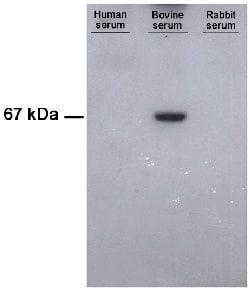 Western blot - Bovine Serum Albumin antibody [1C12] (ab79827)