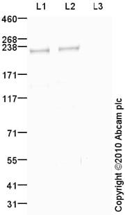 Western blot - Anti-ATM (phospho S1981) antibody (ab79891)