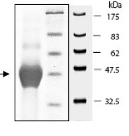SDS-PAGE - ALAS2 protein (His tag) (ab79941)