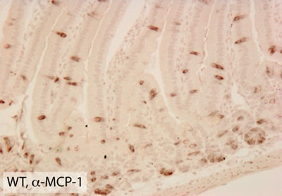 Immunohistochemistry (Formalin/PFA-fixed paraffin-embedded sections) - Anti-MCP1 antibody [ECE.2] (ab8101)