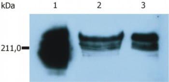 Western blot - CD45RA antibody [MEM-56] (ab8217)