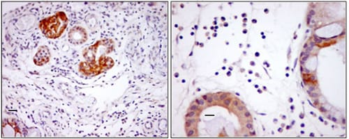 Immunohistochemistry (Formalin/PFA-fixed paraffin-embedded sections) - Anti-VIP antibody (ab8556)