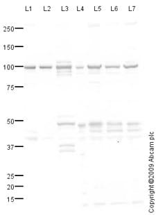 Western blot - BCAR1 antibody (ab80016)