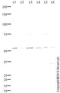 Western blot - cbx2 antibody (ab80044)