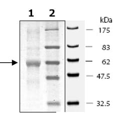 SDS-PAGE - SIRT5 protein (Tagged) (ab80210)
