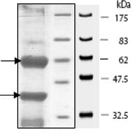 SDS-PAGE - CDK6 + CCND3 protein (Tagged-His Tag) (ab80218)
