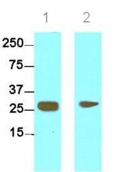 Western blot - HMGB1 antibody [J2E1] (ab80246)
