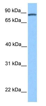 Western blot - DMTF1 antibody (ab80308)