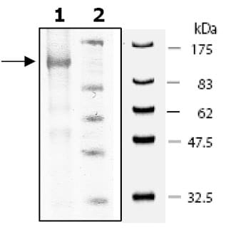 SDS-PAGE - PDE5A protein (Active) (ab80330)