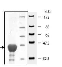 SDS-PAGE - AHA1 protein (Active) (ab80352)