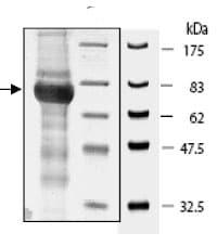 SDS-PAGE - cGKI protein (Active) (ab80375)