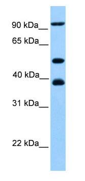 Western blot - MCM3 antibody (ab80456)