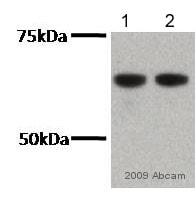 Western blot - NOX2/gp91phox antibody (ab80508)