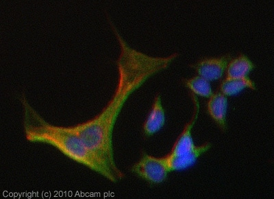 Immunocytochemistry/ Immunofluorescence - AARE antibody (ab80538)