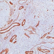 Immunohistochemistry (Frozen sections) - Anti-Laminin gamma 1 [A5] antibody - BSA and Azide free (ab80580)