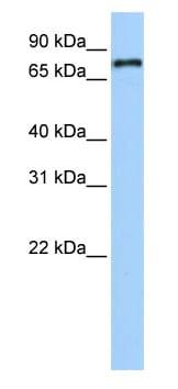 Western blot - NR1D1 antibody (ab80697)