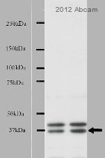 Western blot - Anti-NEK7 antibody (ab80948)
